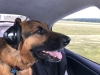 """Eiger"" is a 4 year old German Shepherd who loves flying with his family in his SR22.  ""Eiger"" …requesting clearance"
